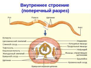 Внутреннее строение (поперечный разрез)