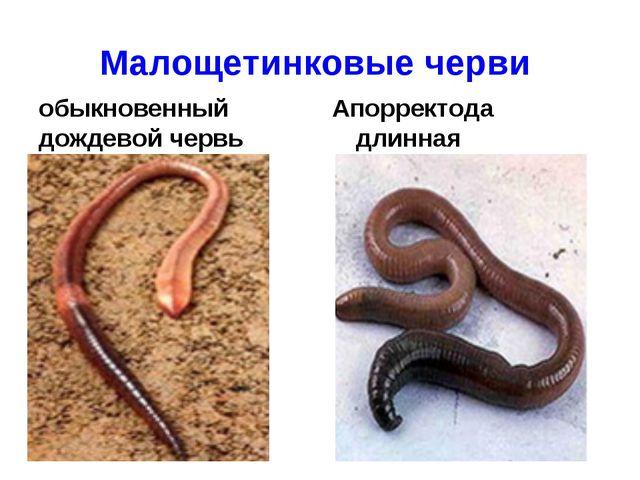 Малощетинковые черви обыкновенный дождевой червь Апорректода длинная