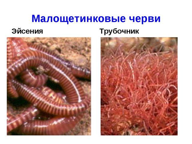 Малощетинковые черви Эйсения Трубочник