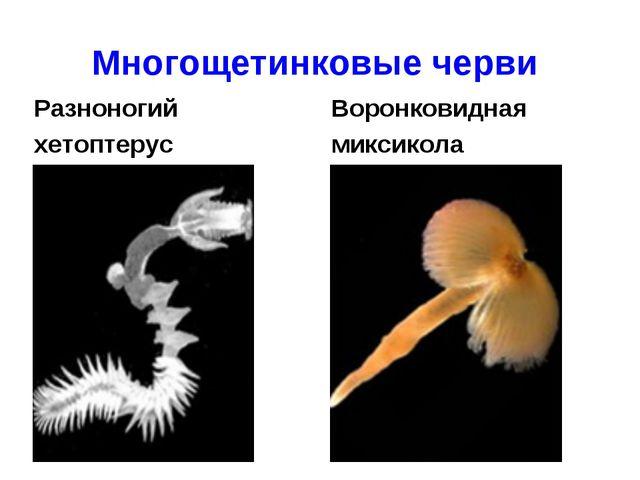 Многощетинковые черви Разноногий хетоптерус Воронковидная миксикола