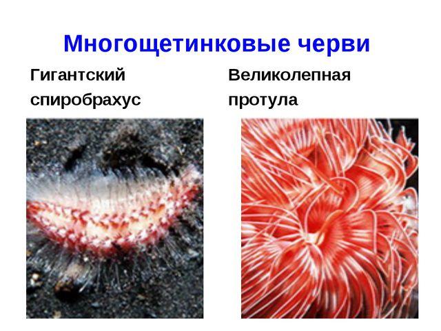 Многощетинковые черви Гигантский спиробрахус Великолепная протула