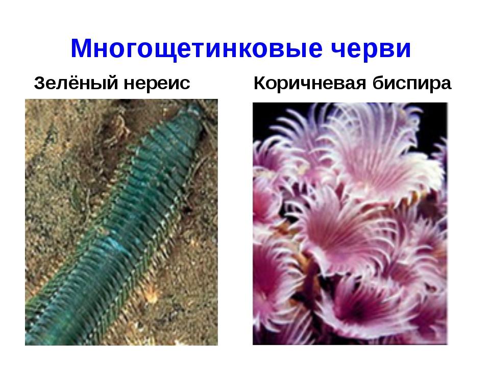 Многощетинковые черви Зелёный нереис Коричневая биспира