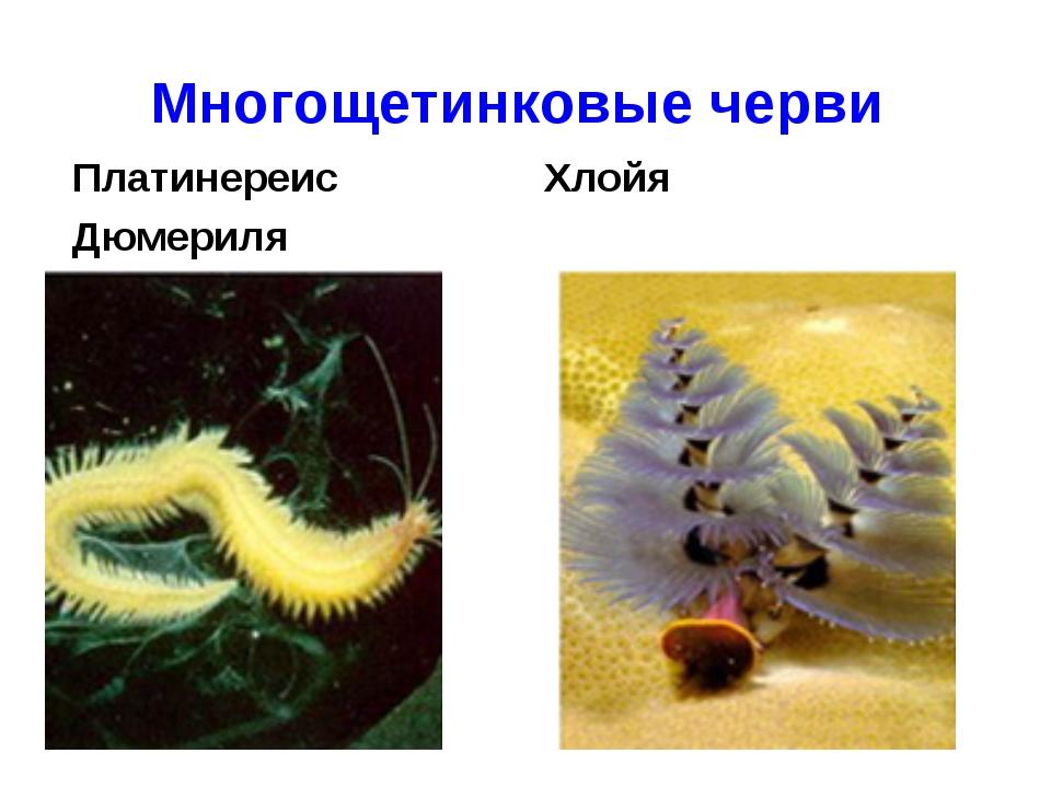 Многощетинковые черви Платинереис Дюмериля Хлойя