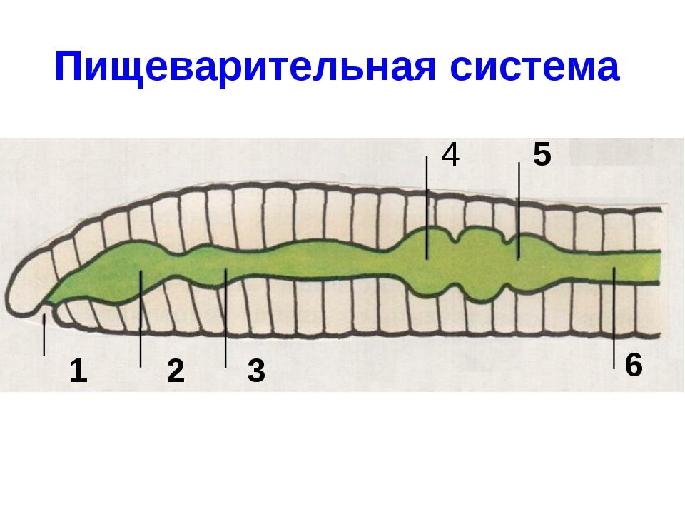 Пищеварительная система 1 2 3 4 5 6