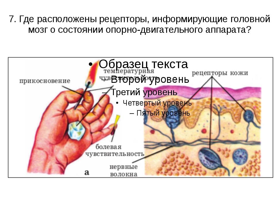 7. Где расположены рецепторы, информирующие головной мозг о состоянии опорно-...