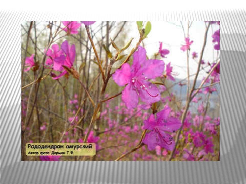 Растения амурской области фото