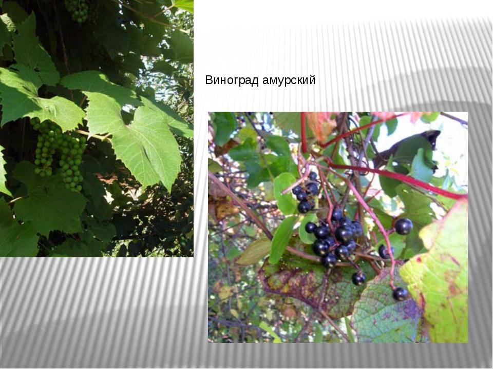 растительность амурской обл в картинках позволяют подвивать концы