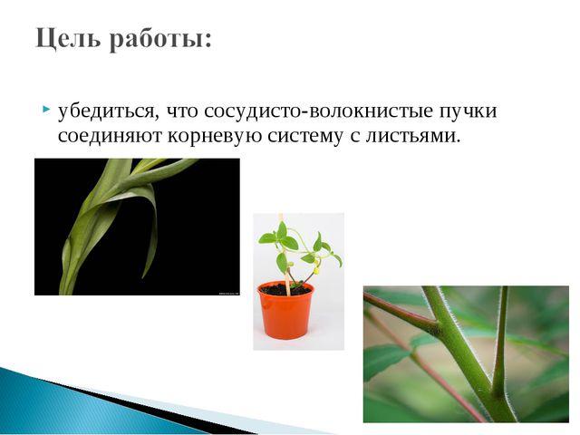 убедиться, что сосудисто-волокнистые пучки соединяют корневую систему с листь...