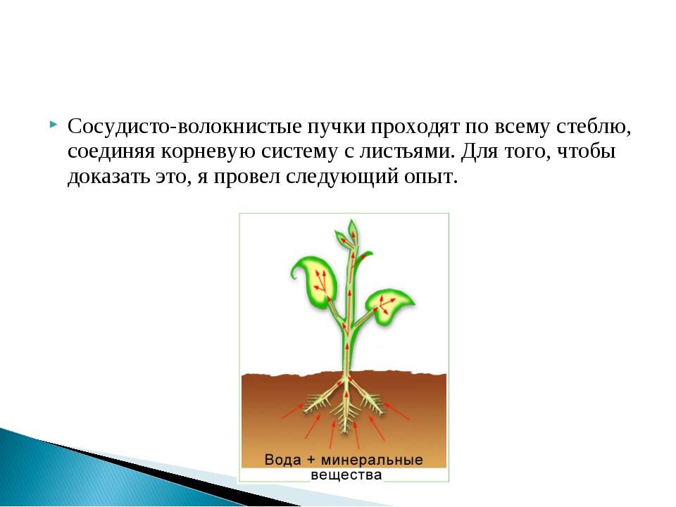 Сосудисто-волокнистые пучки проходят по всему стеблю, соединяя корневую систе...