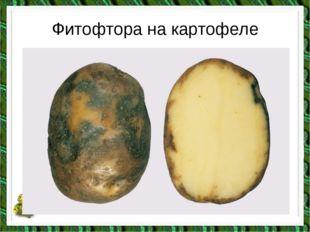 Фитофтора на картофеле