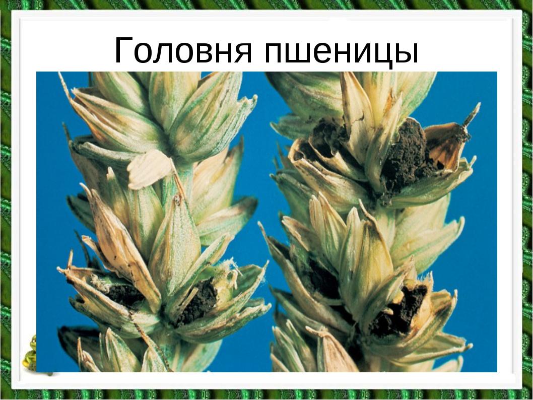 Головня пшеницы
