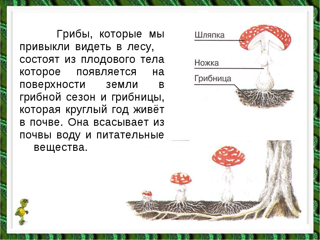 Грибы, которые мы привыкли видеть в лесу, состоят из плодового тела которое...
