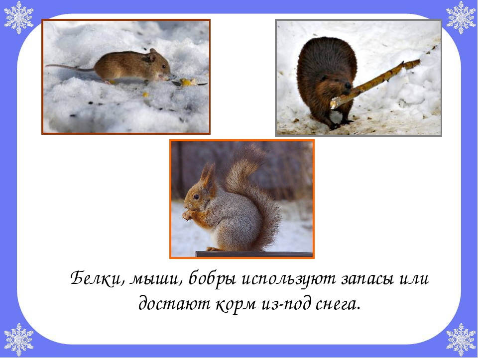 Белки, мыши, бобры используют запасы или достают корм из-под снега.