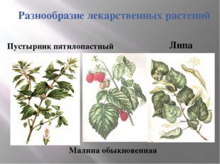 Разнообразие лекарственных растений Липа Малина обыкновенная Пустырник пятило