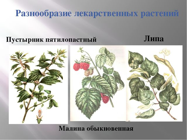 Разнообразие лекарственных растений Липа Малина обыкновенная Пустырник пятило...