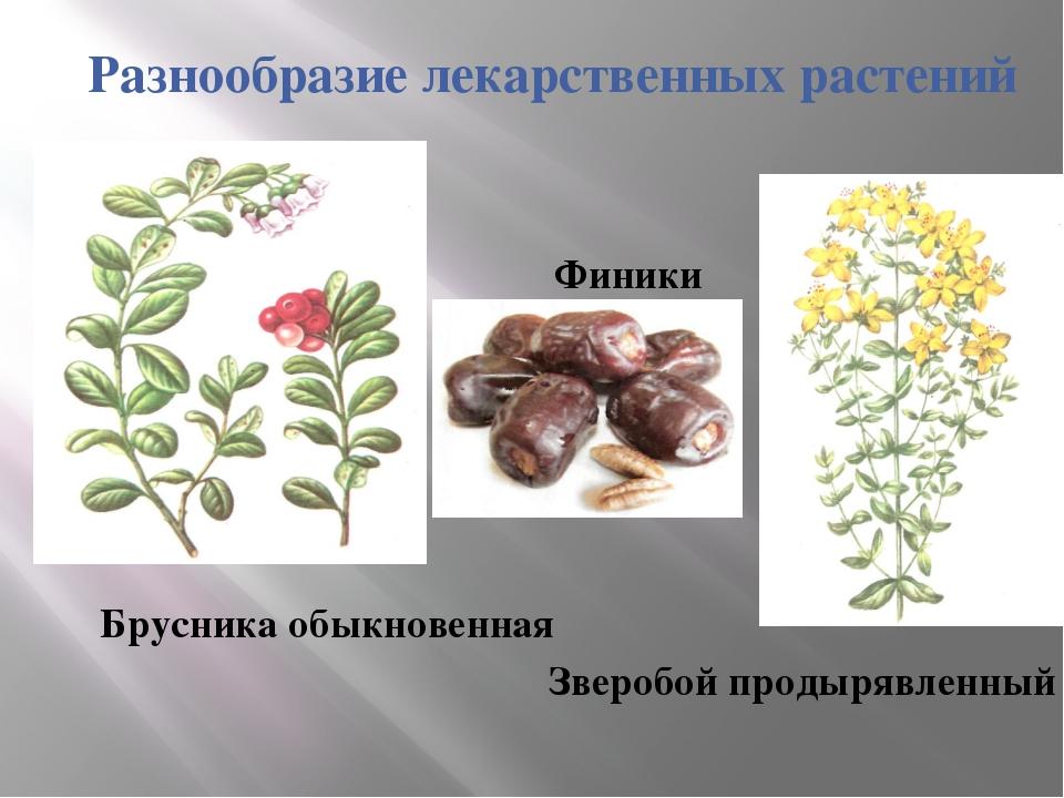 Разнообразие лекарственных растений Брусника обыкновенная Зверобой продырявле...