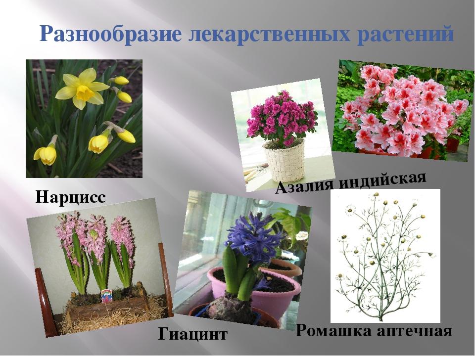 Разнообразие лекарственных растений Ромашка аптечная Азалия индийская Гиацинт...