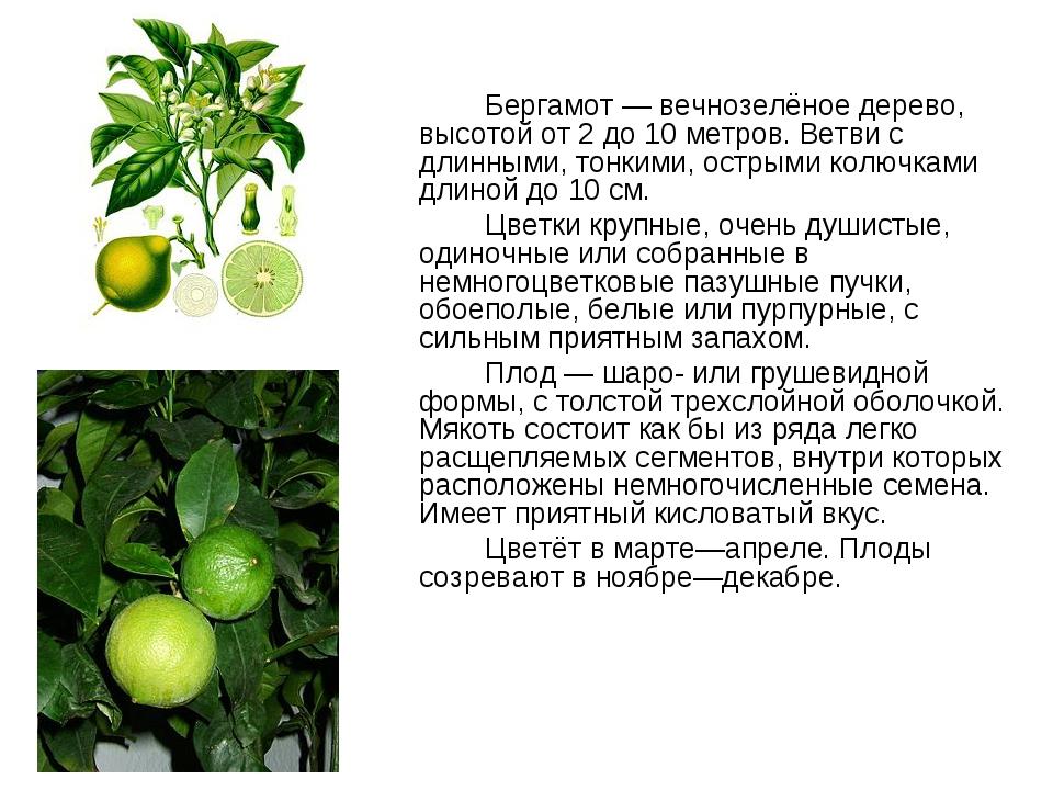 Бергамот—вечнозелёноедерево, высотой от 2 до 10 метров. Ветви с длинными...