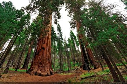 C:\Users\User\Desktop\Инфоурок\Урок\Pictures\Clothespin-tree-sequoia-Yosemite-Mariposa-Grove.jpg