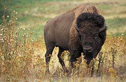 C:\Users\User\Desktop\Инфоурок\Урок\Pictures\250px-American_bison_k5680-1.jpg