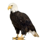 http://us.cdn3.123rf.com/168nwm/isselee/isselee0712/isselee071200178/2213957-bald-eagle-22-years--haliaeetus-leucocephalus-in-front-of-a-white-background.jpg