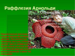 Раффлезия Арнольди Паразитическое растение с самыми крупными в мире цветами.