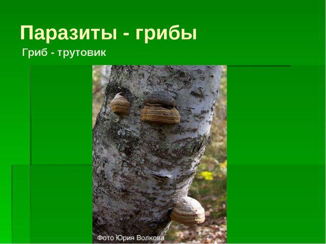 Паразиты - грибы Гриб - трутовик