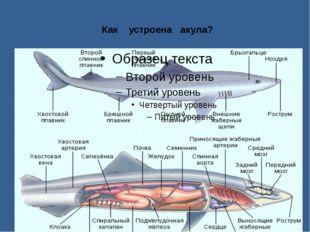 Как устроена акула?