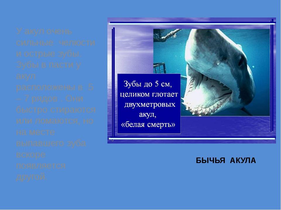 БЫЧЬЯ АКУЛА У акул очень сильные челюсти и острые зубы. Зубы в пасти у акул р...
