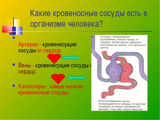 Какие кровеносные сосуды есть в организме человека? Артерии - кровенесущие со...