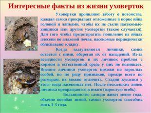 Интересные факты из жизни уховерток Уховёртки проявляют заботу о потомстве,