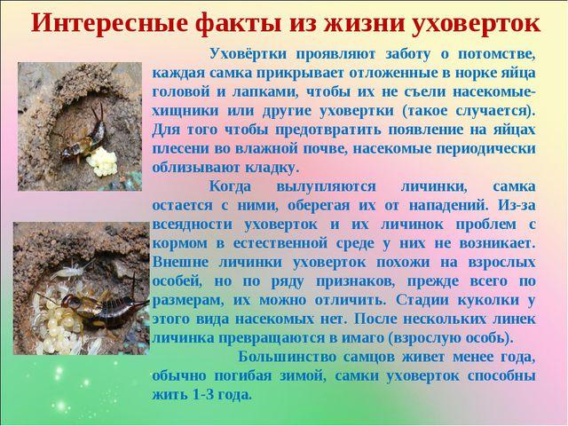 Интересные факты из жизни уховерток Уховёртки проявляют заботу о потомстве,...
