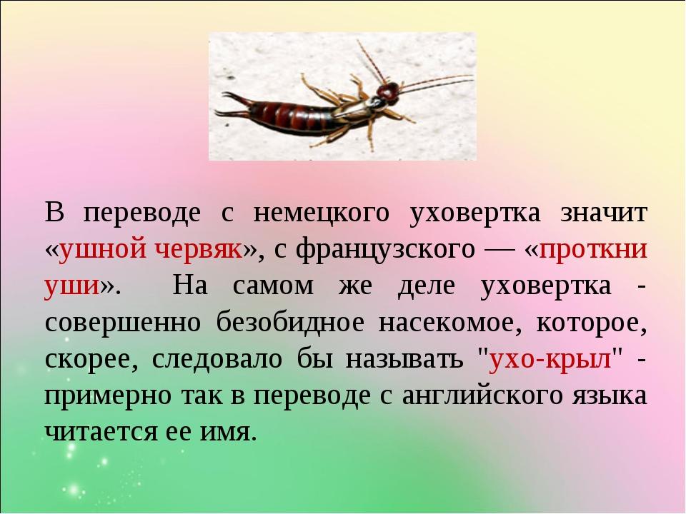 В переводе с немецкого уховертка значит «ушной червяк», с французского — «про...