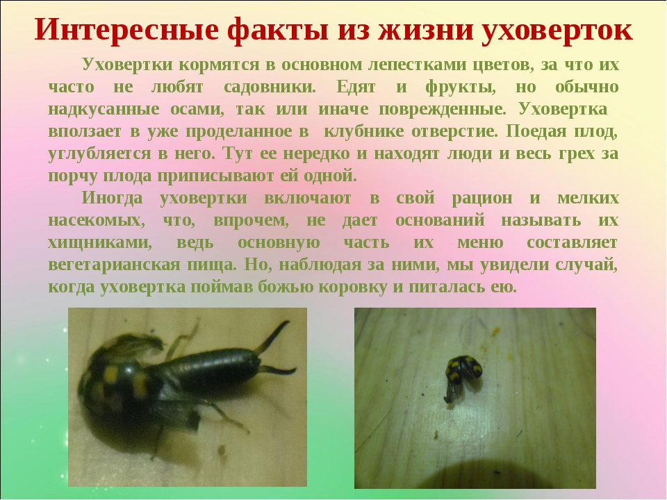 Интересные факты из жизни уховерток Уховертки кормятся в основном лепестками...