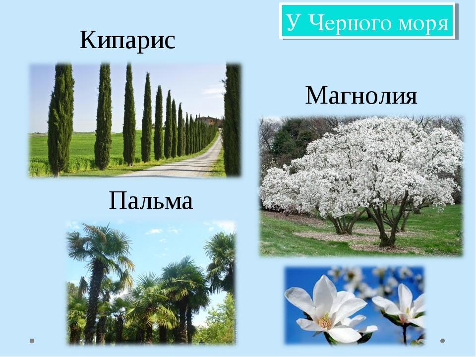 У Черного моря Кипарис Магнолия Пальма