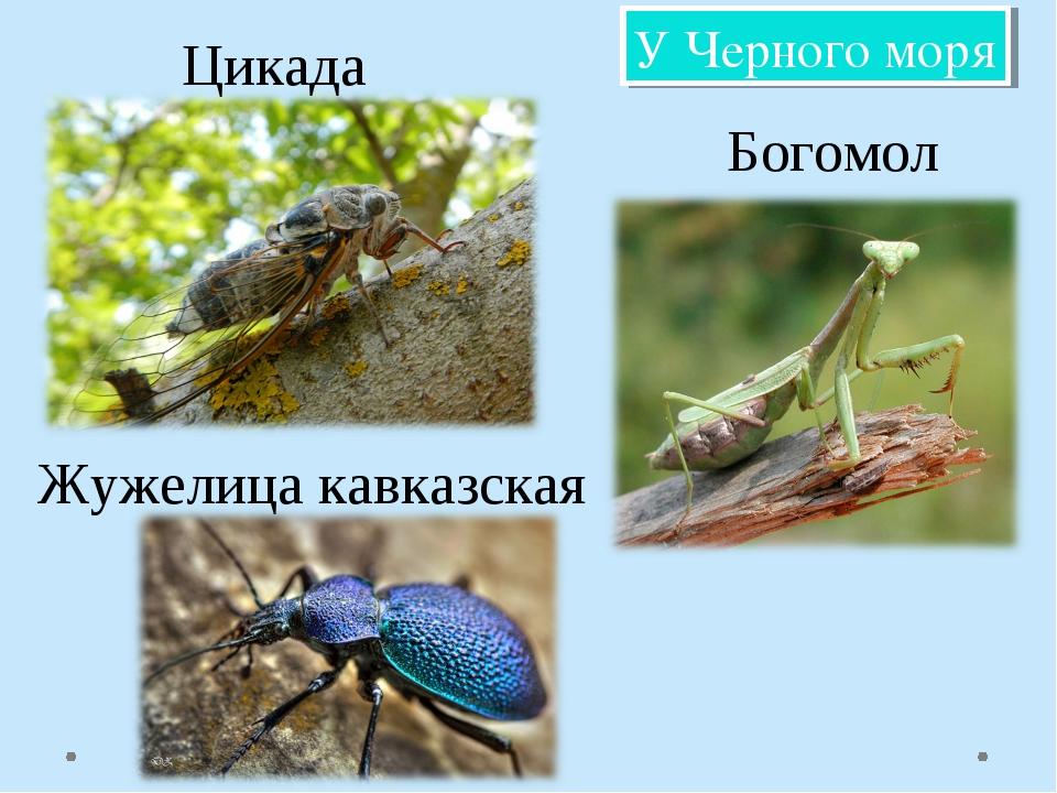 Цикада Богомол Жужелица кавказская У Черного моря