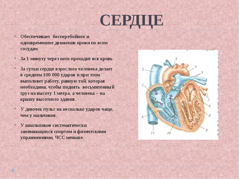 СЕРДЦЕ Обеспечивает бесперебойное и одновременное движение крови по всем сос...