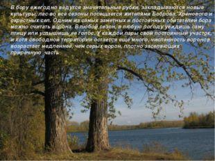 В бору ежегодно ведутся значительные рубки, закладываются новые культуры, лес
