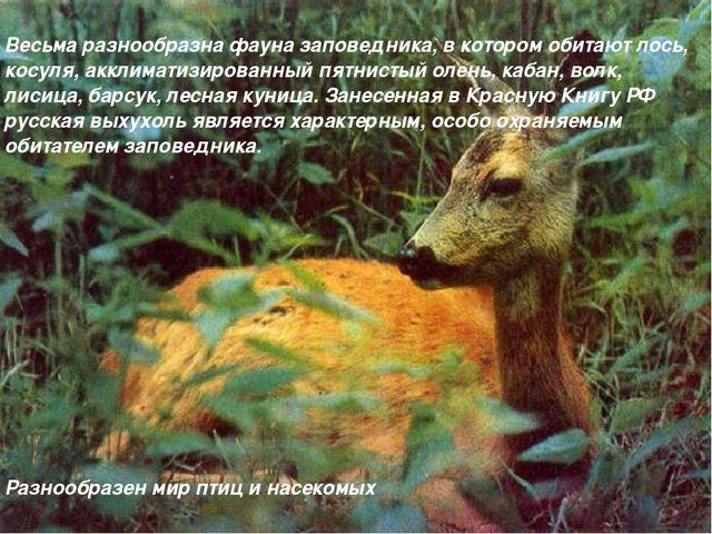 Весьма разнообразна фауна заповедника, в котором обитают лось, косуля, аккли...