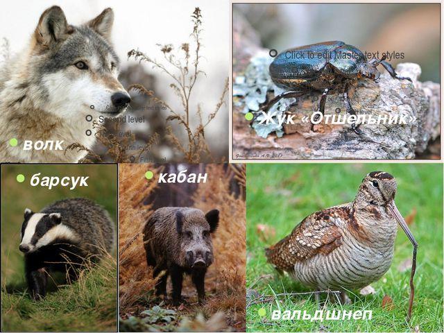 барсук кабан вальдшнеп лось волк Жук «Отшельник»