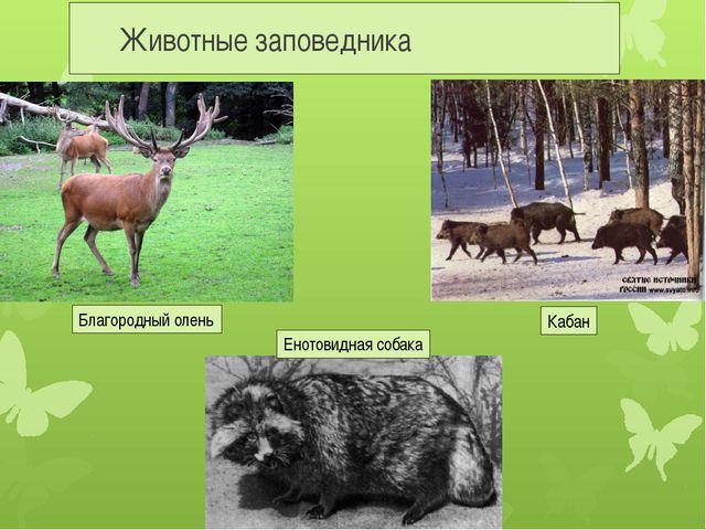Животные заповедника Благородный олень Кабан Енотовидная собака