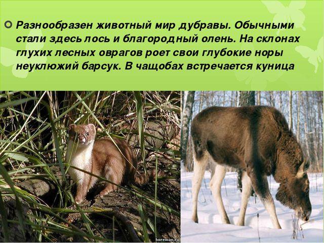 Разнообразен животный мир дубравы. Обычными стали здесь лось и благородный о...