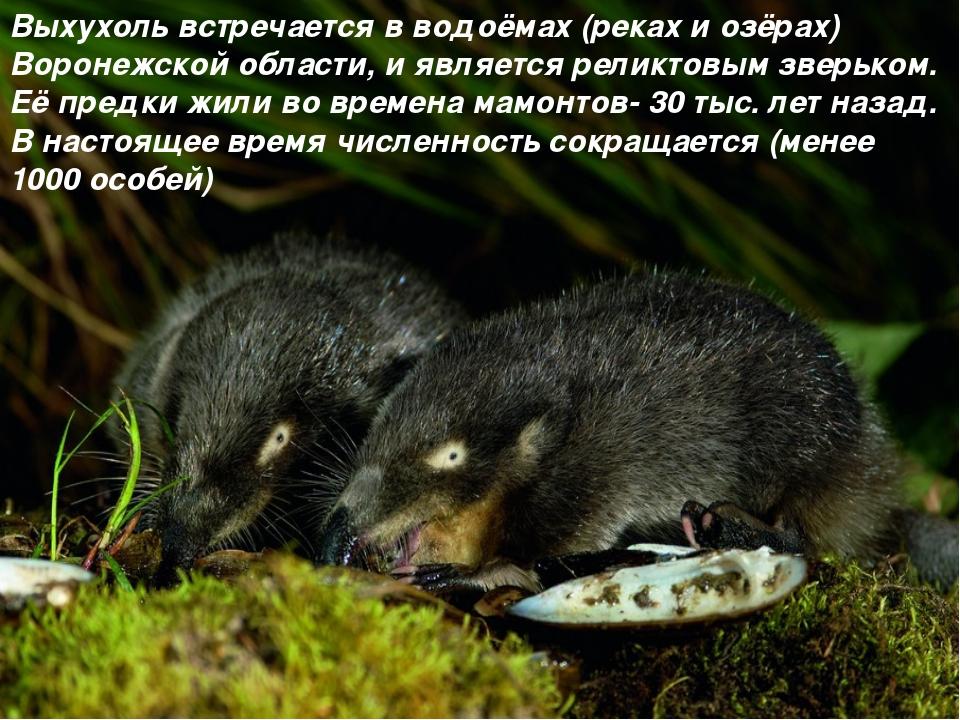 Выхухоль встречается в водоёмах (реках и озёрах) Воронежской области, и являе...