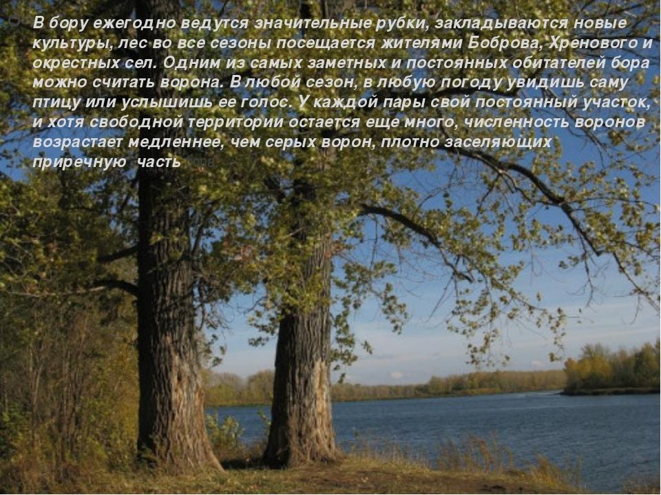 В бору ежегодно ведутся значительные рубки, закладываются новые культуры, лес...