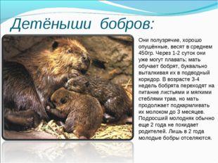 Детёныши бобров: Они полузрячие, хорошо опушённые, весят в среднем 450гр. Чер