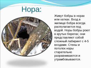 Нора: Живут бобры в норах или хатках. Вход в жилище бобра всегда располагает