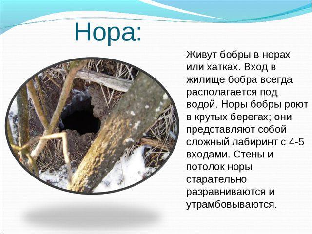 Нора: Живут бобры в норах или хатках. Вход в жилище бобра всегда располагает...