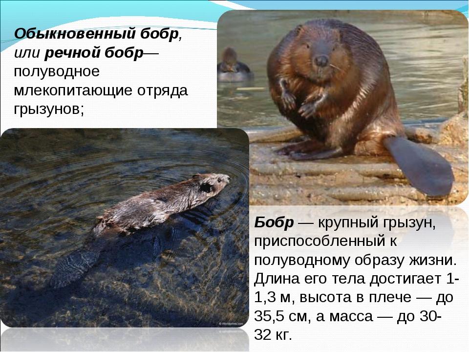 Обыкновенный бобр, или речной бобр— полуводное млекопитающие отряда грызунов;...