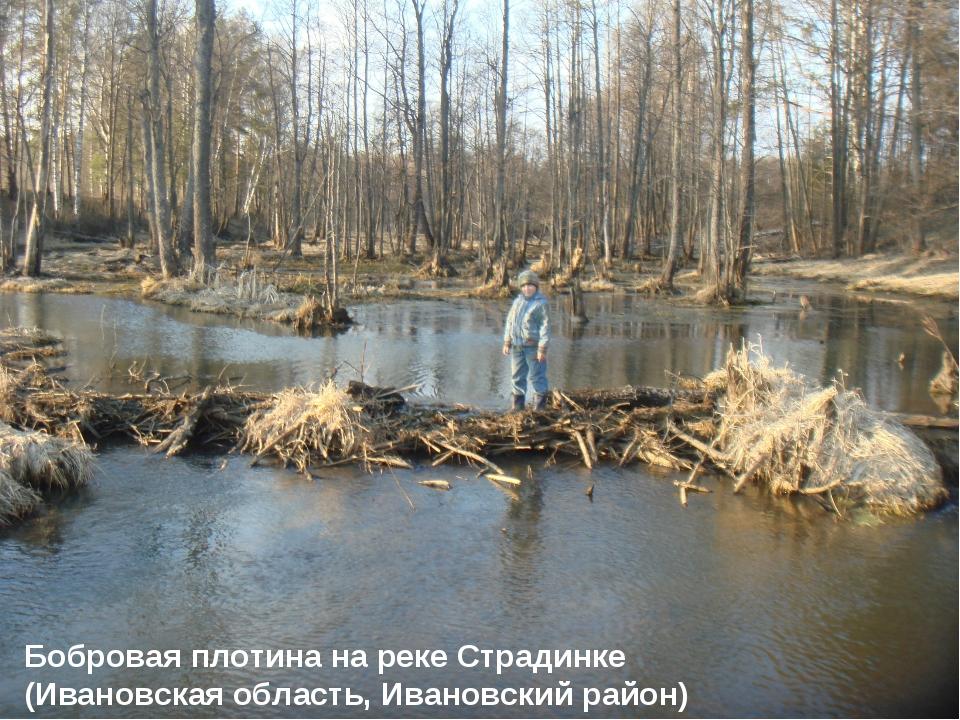 Бобровая плотина на реке Страдинке (Ивановская область, Ивановский район)