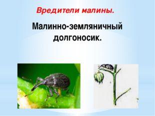 Малинно-земляничный долгоносик. Вредители малины.